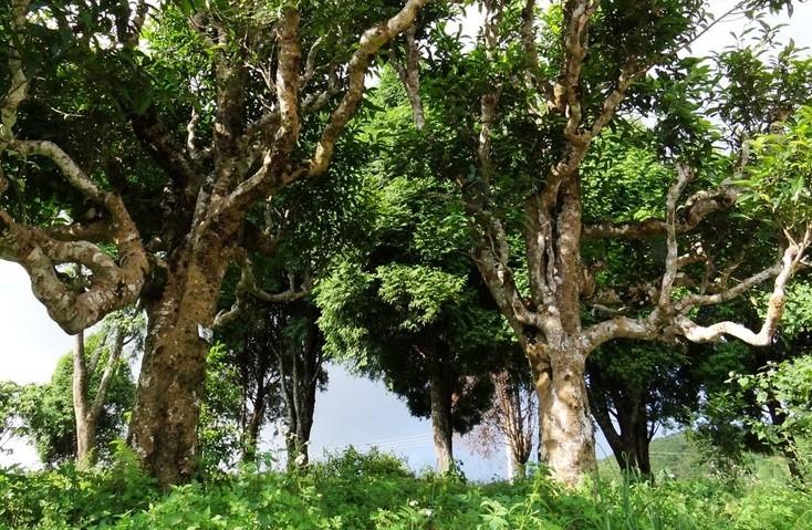 Cây chè Shan Tuyết cổ thụ hàng trăm năm tuổi