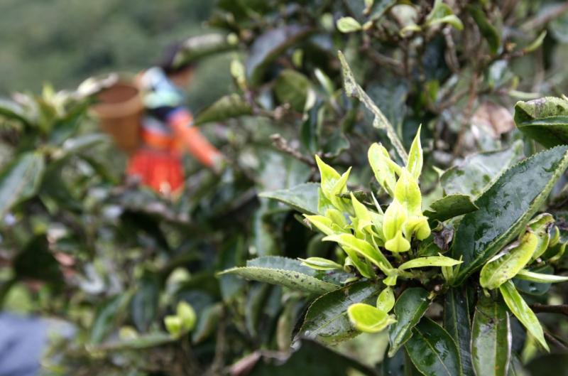 Hình ảnh cây chè Tà Xùa