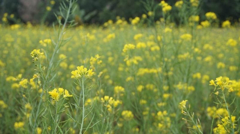 Vườn cải vàng ở Mộc Châu