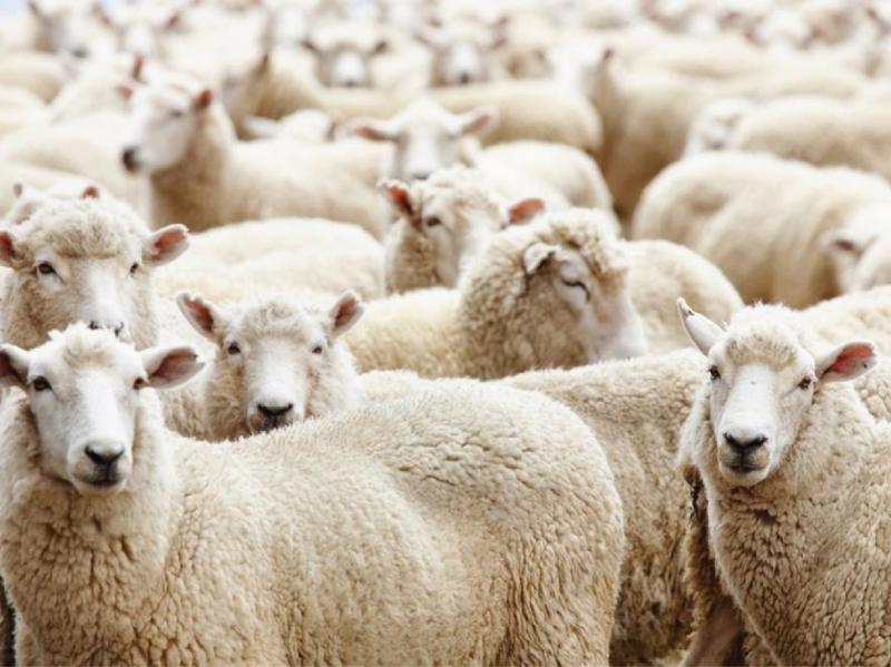 Chết vì cừu