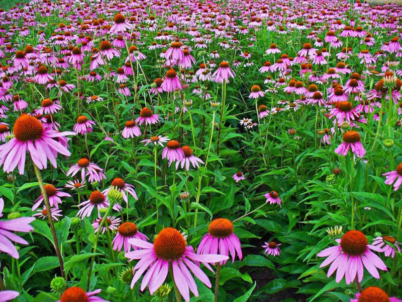 Chiết xuất từ rễ Echinacea (cúc dại) như một loại kháng sinh tự nhiên
