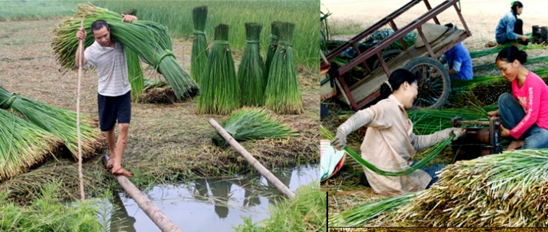 Người dân thu hoạch cói