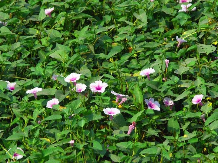 Mùa hè, rau muống lên xanh mơn mởn, hoa rau muống tím lấp lánh.