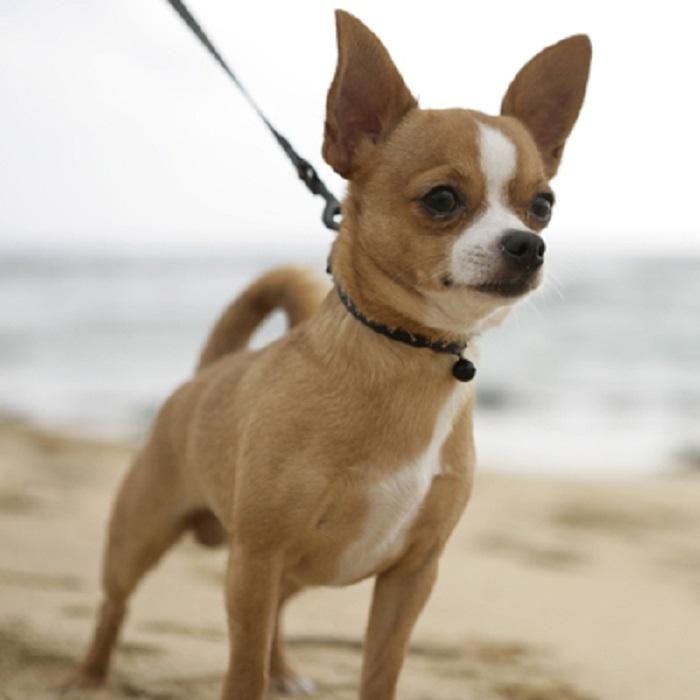 Chihuahua lông ngắn