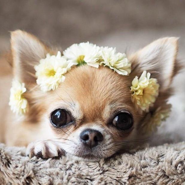 Chihuahua - một trong những loài chó cảnh thông minh nhất thế giới