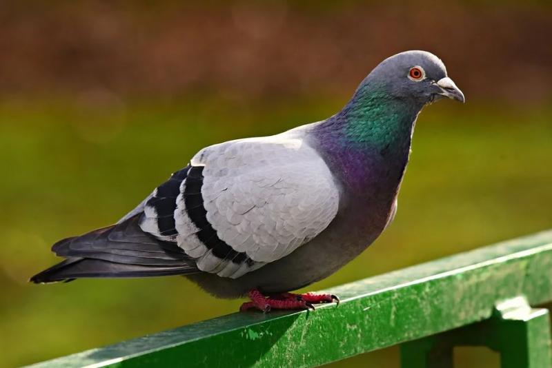 Chim bồ câu - Bộ trưởng bộ ngoại giao