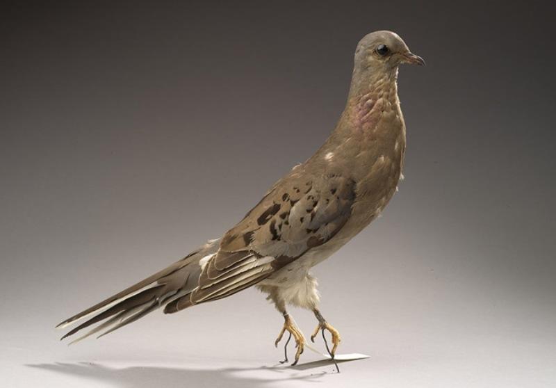 Chim bồ câu viễn khách