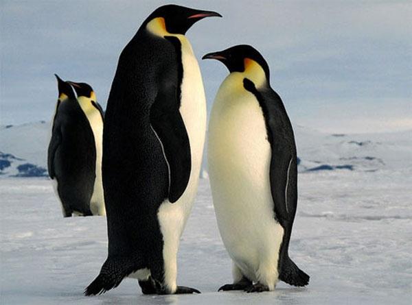 Chim cánh cụt khổng lồ