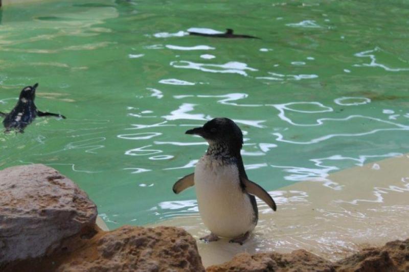 Chim cánh cụt nhỏ với thân hình núng nính, phúc hậu