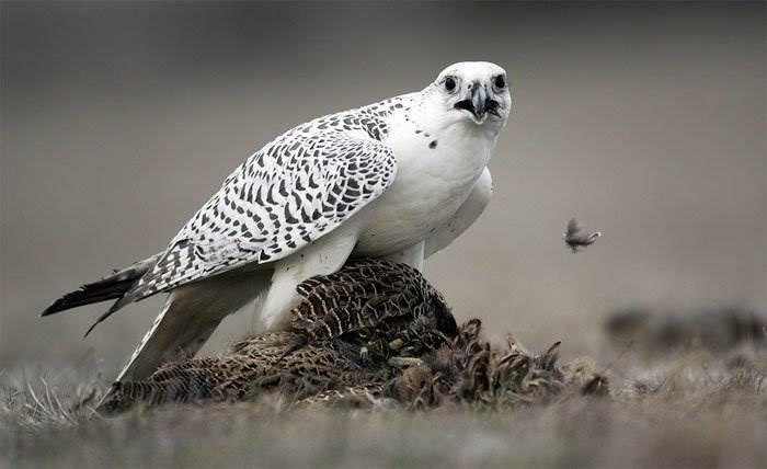 Chim cắt Bắc Cực bay với tốc độ tối đa 209km/h