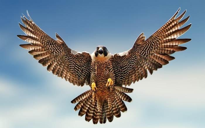 Chim Cắt lớn bay với tốc độ tối đa 389 km/h