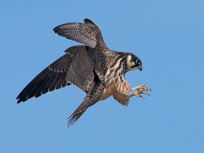 Chim cắt Trung Quốc bay với tốc độ tối đa 161 km/h