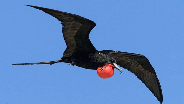 Chim Cốc biển có tốc độ bay tối đa đạt khoảng khoảng 153 km/h
