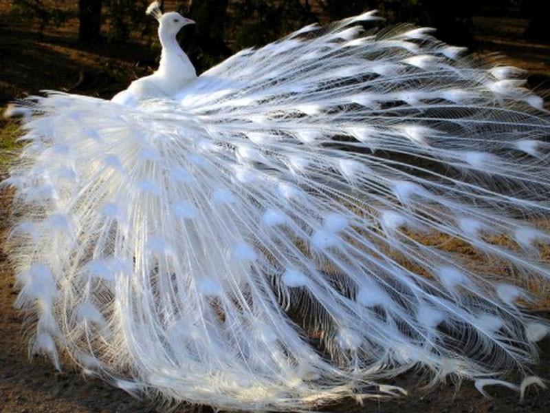 Khổng tước trắng - Một loài vô cùng đẹp và quý hiếm