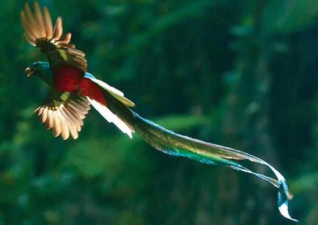 Chim đuôi seo (The Quetzal)