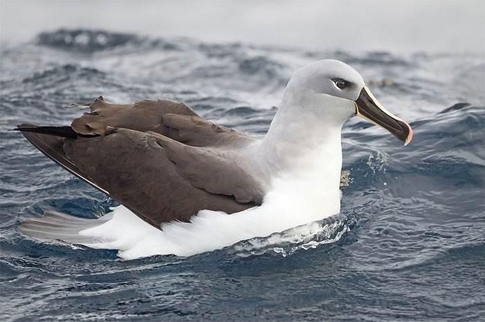 Chim Hải âu đầu xám bay với tốc độ tối đa 127 km/h