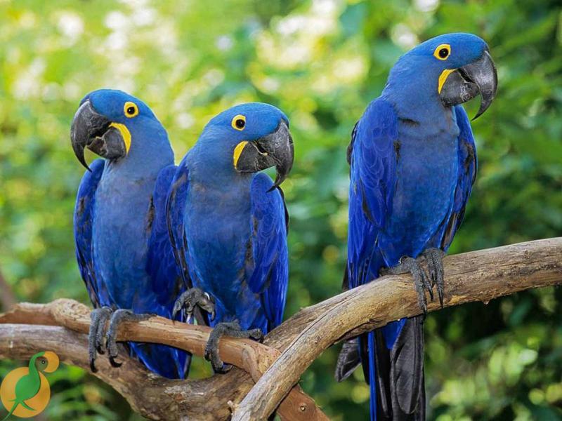 Chim Hyacinth Macaw
