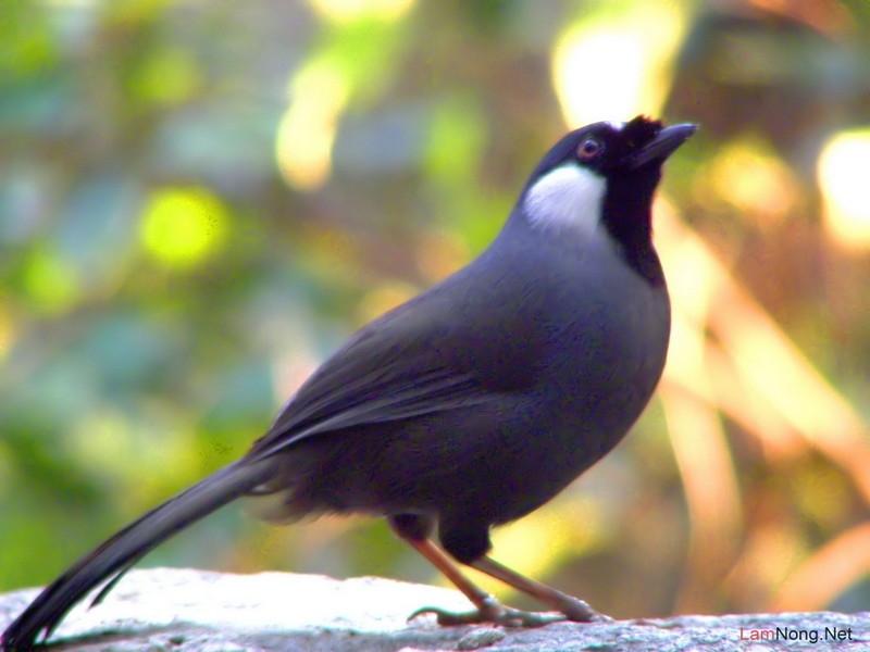 Chim Khướu
