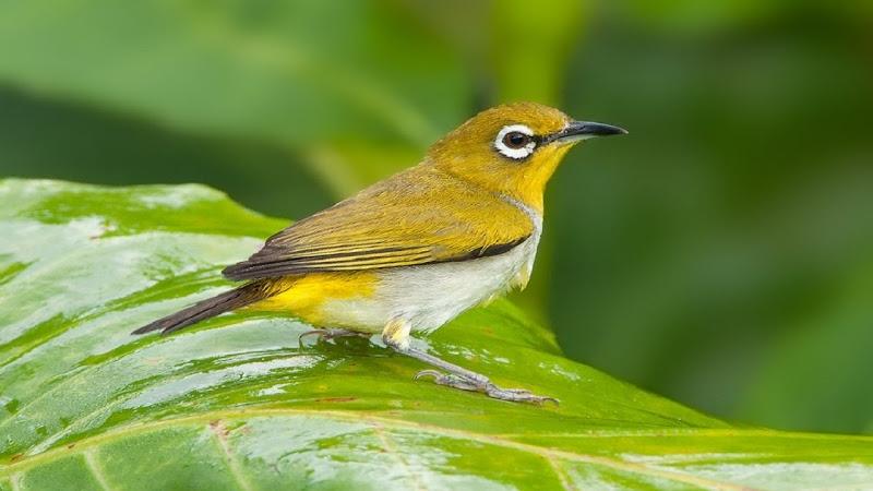 Một chú chim Khuyên vàng