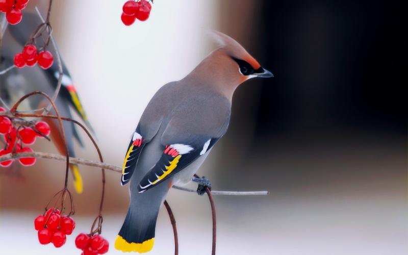 Chim Kim tước (hay còn gọi là chim Bohemian Waxwing)