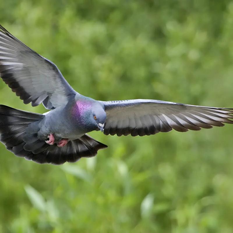 Chim Racing Pigeons