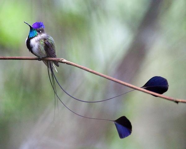 Chim ruồi Anna