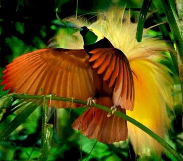 Chim thiên đường đang múa gợi bạn tình
