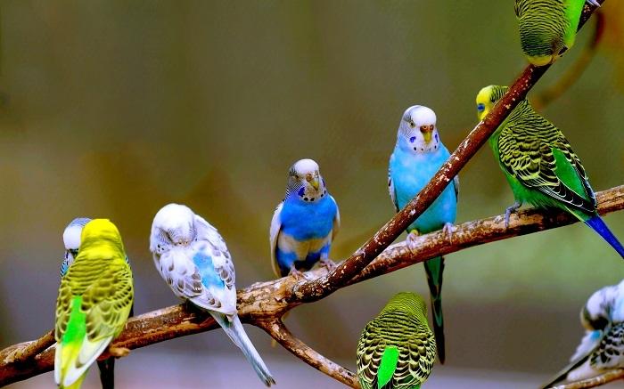 Chim Yến Phụng