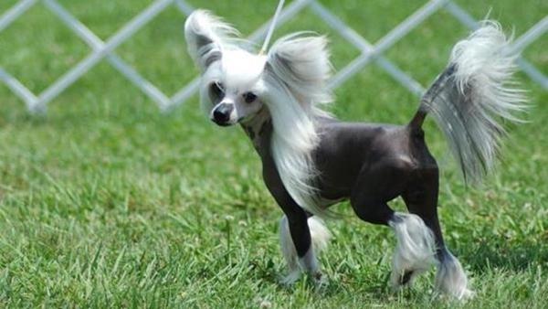 Đây là loài chó có diện mạo vô cùng độc và lạ, ngoại hình xấu xí và trên đầu có chỏm lông tơ như mào