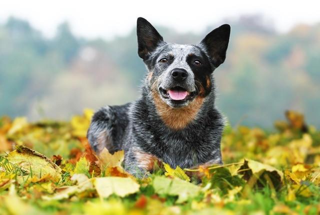 Chó Australian Cattle Dog – Chó chăn gia súc Úc