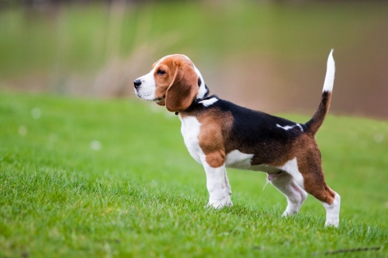 Chó Beagles