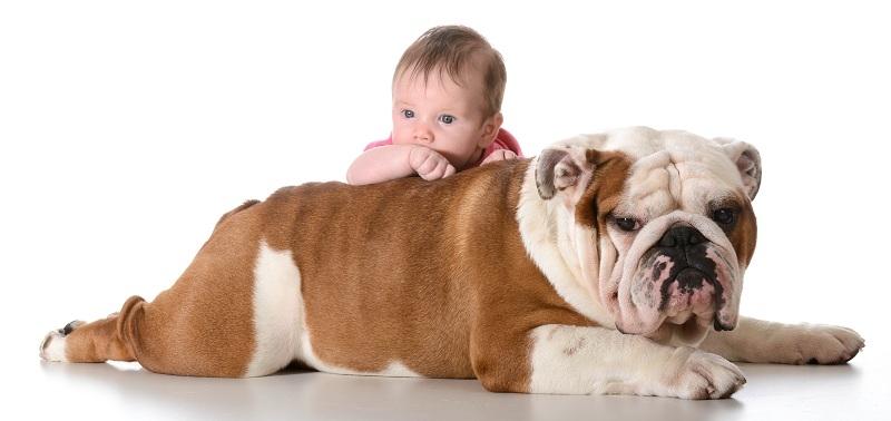 Chó Bull Dog