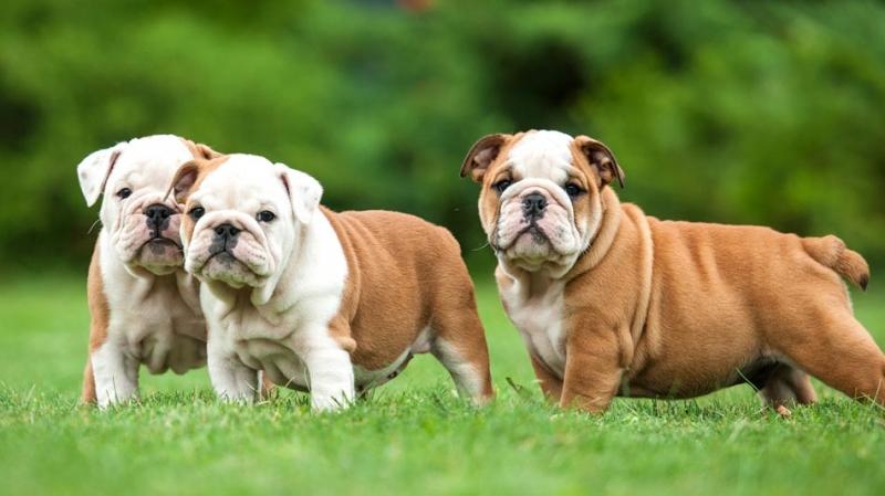 Những chú chó Bull tinh nghịch