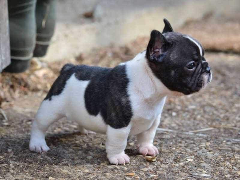Chó Bulldog Pháp (French Bulldog)