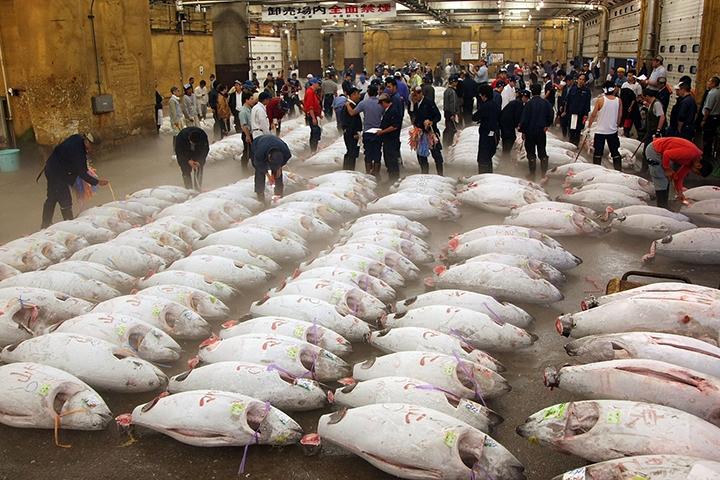 Phiên đấu giá cá ngừ nổi tiếng