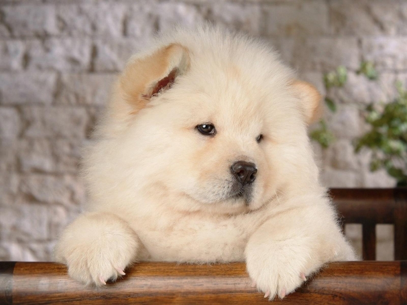 Chó Chow Chow