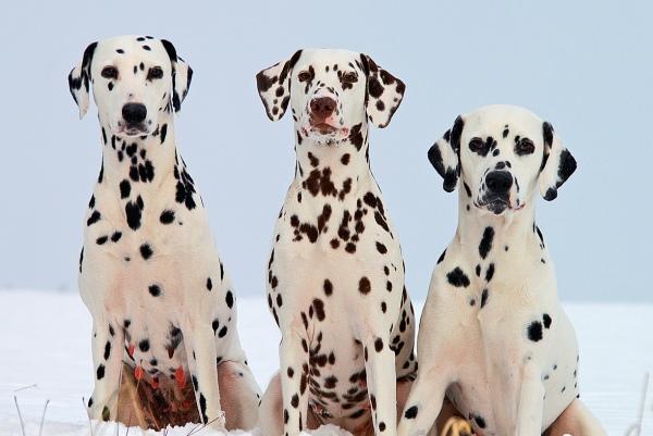 Chó Dalmatian (chó đốm)