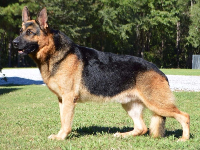Chó Đức Shepherds