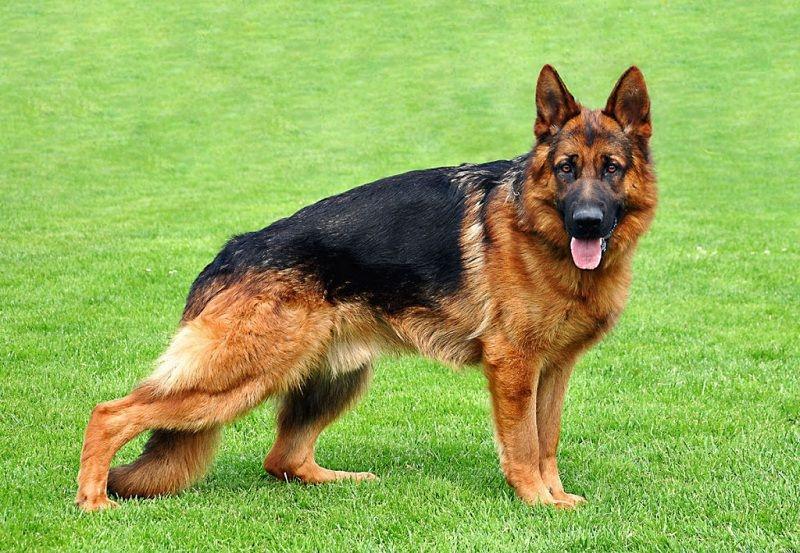 Một trong những giống chó thông minh nhất