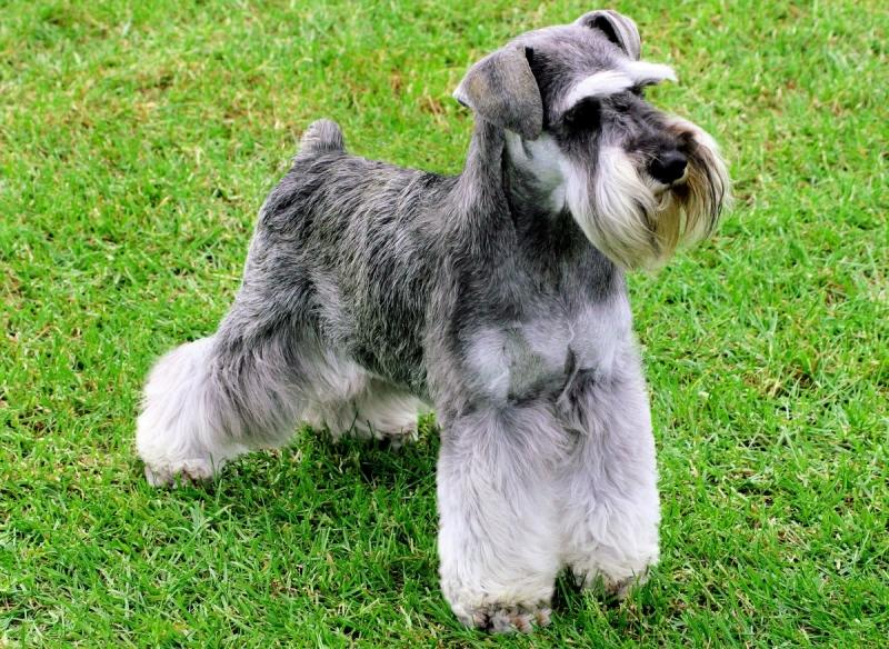 chó giant schnauzer có vẻ ngoài khá lạ nhưng cũng là một nét đặc trưng của nó