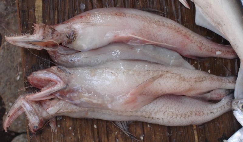 Cá khoai- một trong những đặc sản biển Thái Bình