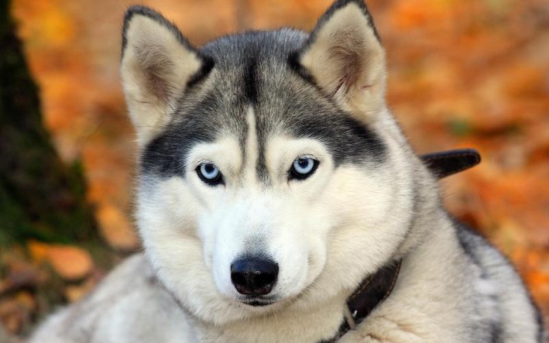 Chó Huskies là giống chó dễ gây ấn tượng với những người yêu động vật