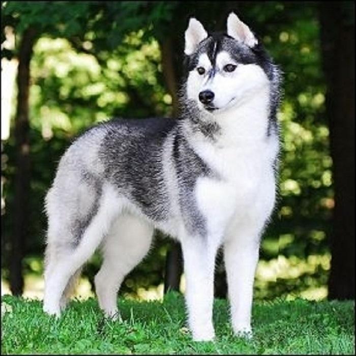 Chó Huskies