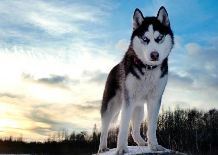 Husky nhìn có vẻ dữ hơn Alaska một tý nhưng chúng thật ra lại hiền lành ngược với vẻ bề ngoài