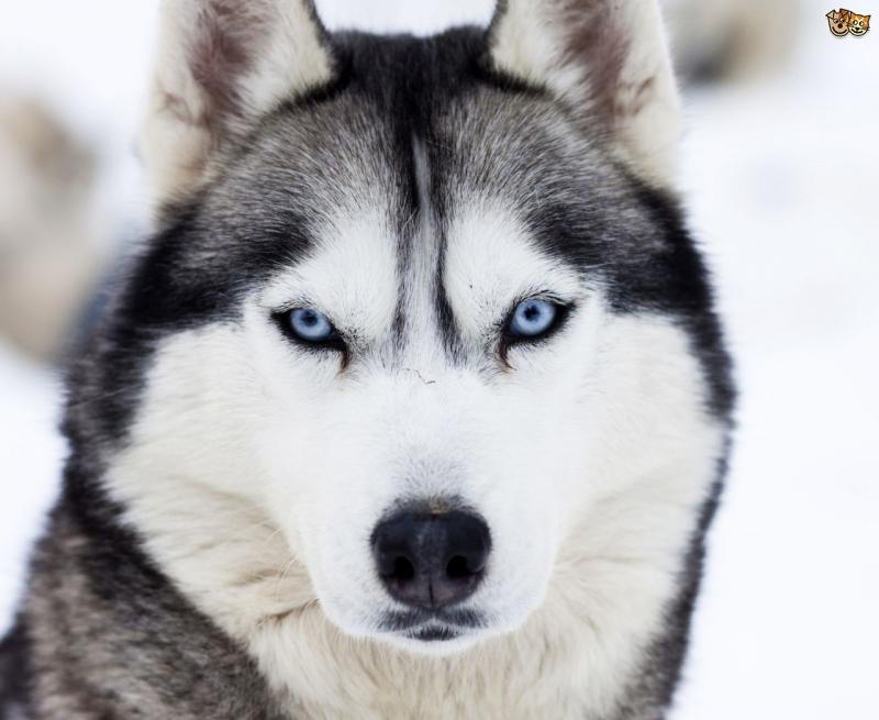 Chó Husky thuần chủng với đôi mắt xanh dương