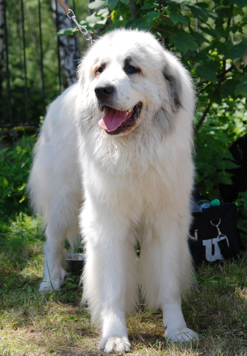 Chó Kuvasz