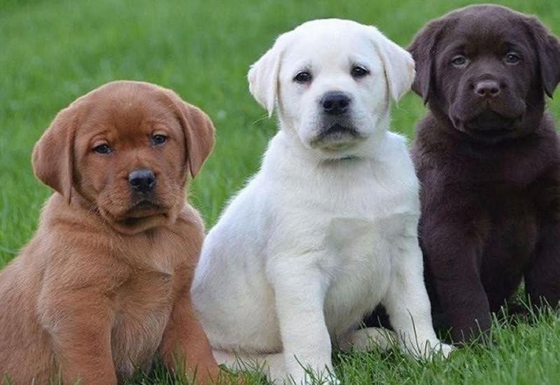 Chó Labrador Retriever