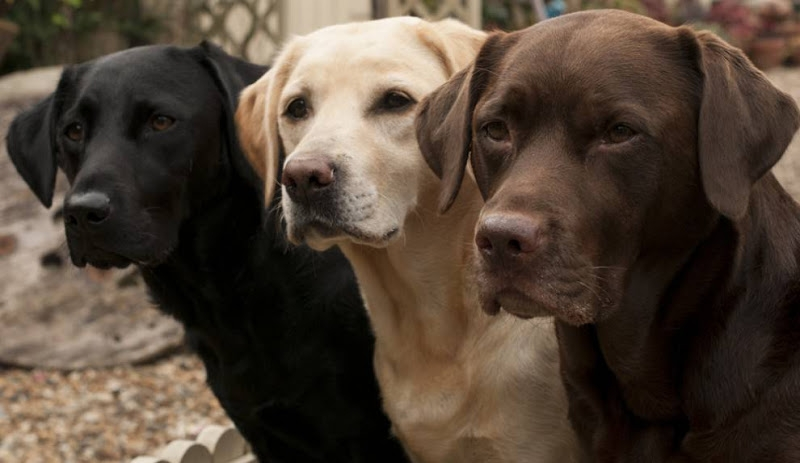 Những chú chó Lab đang được chủ của chúng huấn luyện