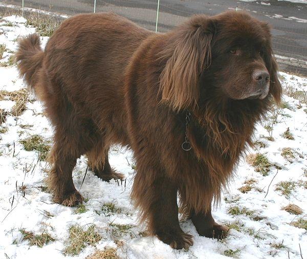 Chó Newfoundland