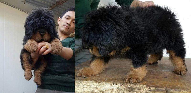 Chó Ngao Tây Tạng khi còn nhỏ